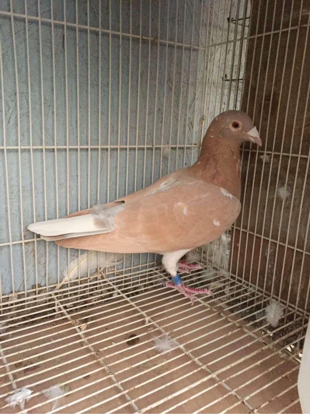 Rare racing pigeons, Colored homing pigeons - Rare Colored